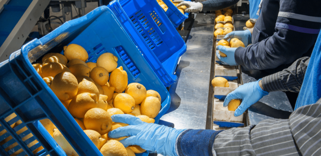 a production line of workers pick oranges from a basket and inspect them